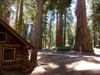 Mariposa Grove of Giant Sequoias - Yosemite National Park, California