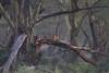 Among the Fever Trees. (Rainbirder) Tags: kenya africanleopard lakenakuru pantherapardus fevertree yellowacacia rainbirder vachelliaxanthophloea