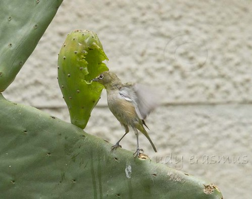 Cape White-eye , to small to  reach the  sweetness_9943
