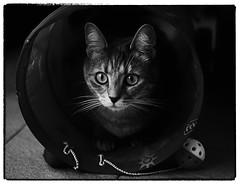 Clio (gramilu) Tags: cats cat felino felini gatto gatti biancoenero canon7d