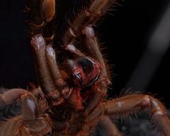 Haplopelma minax juvie female (_papilio) Tags: macro canon spider arachnid tarantula nikkor papilio arthropod 6d theraphosidae mpe65mmmacro invertbreate