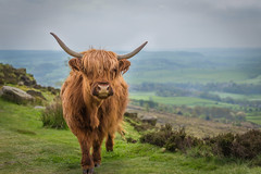 Peak District, UK (RenaldasUK) Tags: uk portrait england animal landscape cow long district horns peak planet