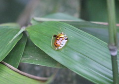A tortoise beetle (subfamily Cassidinae, family Chrysomelidae), Cuc Phuong NP, Ninh Binh Province,  Vietnam 3/27/14 (Gil Ewing) Tags: coleoptera chrysomelidae beetle