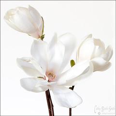 Star Magnolia tro (Photo Girl Canada) Tags: white canada flower macro primavera nature spring bush flor smooth silk stamen fragrant magnolia environment bouquet starmagnolia tamron90