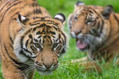 Tiger, Tiger. (PRA Images) Tags: zoo tiger bigcat sumatrantiger chesterzoo