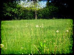 The Wish Factory (Groovyal) Tags: plant flower field child air meadow seed free dandelion wish float wildflower makeawish