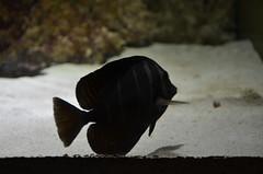 Unidentified fish (Black Widow Tetra?) (oldandsolo) Tags: fauna abudhabi uae unitedarabemirates fishtank samhaabudhabi zoo zoologicalgardens emiratesparkzoo marineanimals aquaticanimals fish blackwidowtetra