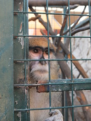 And there he is, a sad Patas monkey (oldandsolo) Tags: fauna zoo monkey uae cage abudhabi wadi unitedarabemirates simian captivity patasmonkey erythrocebuspatas zoologicalgardens emiratesparkzoo samhaabudhabi monkeyhussar