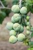 Plum 'Early Green Gage' (Alan Buckingham) Tags: fruit gage brogdale prunusdomestica greengage plumearlygreengage