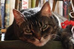 library supervisor (omoo) Tags: newyorkcity cat interiors apartment library tabby westvillage kitty books collection ribbon bookshelves mycat greenwichvillage tabbycat windsorchair catsandbooks librarysupervisor