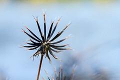 Les fruits du bidens pilosa (zambaville) Tags: famille macro ex canon plante eos sigma apo 7d asteraceae f28 dg herbe proxy flore aiguilles 150mm biden hsm pilosa espce lesquelin