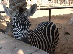 Masai Zebra looks out for herbs (oldandsolo) Tags: fauna zoo uae abudhabi zebra unitedarabemirates herbivore ungulates zoologicalgardens animalfeeding feedingstation africanequids masaizebra emiratesparkzoo samhaabudhabi