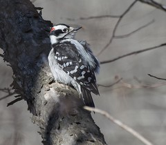 Listening Intently (Explored) (Carolyn Lehrke) Tags: winter usa nature birds woods woodpecker wv downy riverroad nikond3200 explored greenbriercounty inexplore ronceverte carolynlehrke