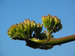 agaveflower