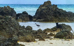 Every breath you take (MilaMai) Tags: sea dog bird beach heron nature water animal animals landscape fun thailand outside fishing sand funny rocks asia day pacific getaway turquoise watching nopeople exotic tropical reef morph spying