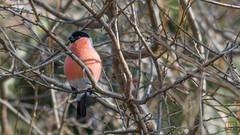 Blutfink (LB-fotos) Tags: bird 500mm f11 tier vogel wundertüte travenar pyrrhula gimpel beroflex dompfaff blutfink