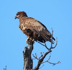 IMG_4340-1 Juvenile Bald Eagle (John Pohl2011) Tags: bird canon john 100400mm birdofprey pohl perching t4i 100400mmlens canont4i