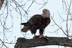 Bald Eagle devours a trout