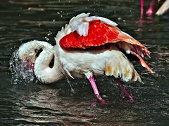 Splashhhh (diarnst) Tags: birds zoo outdoor flamingos splash vgel baden waterbirds wasservgel spritzen