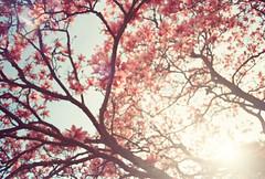 Magnolia Rainbow (thomas_anthony__) Tags: life pink flowers trees light shadow sky plants sun flower tree green film nature grass silhouette analog 35mm canon lens gold spring rainbow shadows dof kodak bokeh spirit branches natur dream maryland outoffocus lensflare flare magnolia dreamy a1 analogue spiritual canona1 twigs daydream magnolias goldenhour kodakgold magnoliatree lent lenten kodakgold200