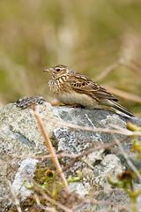 Skylark (ABPhotosUK) Tags: birds animals canon wildlife devon dartmoor teleconverter skylark larks alaudaarvensis alaudidae ef14xextenderiii eos7dmarkii smeardondown ef100400mmisii