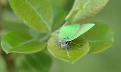 Green Hairstreak at Ryton Meadows (robmcrorie) Tags: green nature butterfly wildlife meadows reserve conservation coventry warwickshire hairstreak ryton