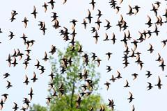 least sandpipers & friends at Cardinal Marsh IA 854A7611 (lreis_naturalist) Tags: county cardinal reis iowa larry marsh least sandpipers winneshiek
