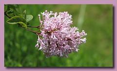Flieder (p_jp55 (Jean-Paul)) Tags: flower fleur lilac lilla lilas bloem lils bez flieder lalila