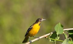 La belle Oriole de baltimore! (pascaleforest) Tags: canada bird nikon quebec bokeh passion natire femelle orioledebaltimore piseau