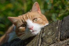 Whatcha doin? (cuppyuppycake) Tags: pet cute brick animal wall cat ginger nikon outdoor whiskers sleepy tired herbie d7200
