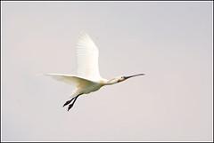 Lepelaar (pietplaat) Tags: vogels lepelaar sgravenzande debanken pietplaat