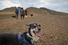 4mai_Thorbjorn_033 (Stefn H. Kristinsson) Tags: dog mountain dogs iceland spring hiking may ma vor hundur sland ganga fjallganga tamron2875mm grindavk hundar grindavik orbjrn nikond800 thornbjorn orbjarnarfell