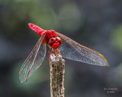 Dragonflies -40 (jimlustgarten) Tags: dragonflies lustgarten