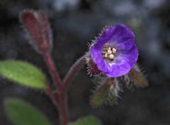 Mariposa Phacelia (Phacelia vallicola) (Ron Wolf) Tags: california flower nature nationalpark sierra yosemitenationalpark wildflower boraginaceae hetchhetchyvalley mariposaphacelia phaceliavallicola