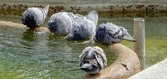 Time for a bath. (Meino NL OFF UNTIL AUGUST 28) Tags: bird pigeon dove vogel duif