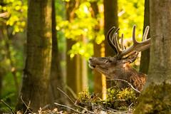 Edelhert in het bos (cageon1) Tags: wild woods wildlife deer bos edelhert