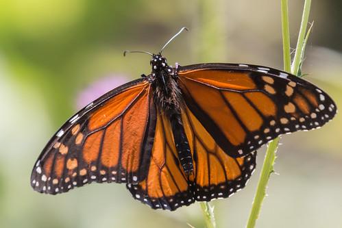 IMG_1350.jpg Monarch Butterfly, Natural Bridges