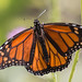 IMG_1350.jpg Monarch Butterfly, Natural Bridges