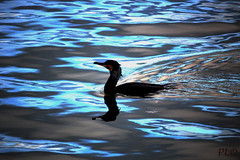 Duck? Noone knows (PLOphotos) Tags: camera swimming canon dark landscape duck spain atmosphere ra