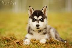 Mhina (Elisa Pirat) Tags: dog pet cute nature animal pose puppy husky noir sweet adorable yeux blanc chiot regard domestique vairons