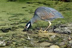Yellow-crested Night Heron AKA Yellow-crowned Night Heron (Susan Roehl Thanks for 5.1 M Views) Tags: southamerica ecuador ngc swamps frogs mussels ponds snails tidepool yellowcrownednightheron genovesaisland difficulttosee searchingforfood photographictour pentaxk7 smallsnakes lowlandforests galapagos2013 naturalexposures sueroehl longleggedshortnecked feedsoncrayfish highsquackingbark