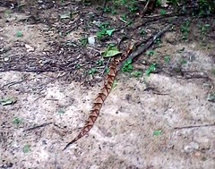 Copperhead in Western Henrico County VA May 20, 2016 a (cogp39) Tags: copperhead