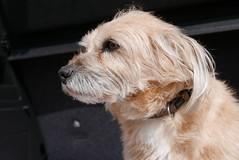 Kenny again (olyxander) Tags: dog hund kenny unbearbeitet lx100