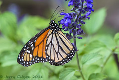 Backyard Monarch Butterfly 05-17-2016 (Jerry's Wild Life) Tags: butterfly backyard explore monarch explored inexplore monarchbuttefly backyardmonarchbutterfly backyardmonarch