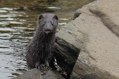 IMG_3189 Isle of Mull Mink (Photos-Tony Wright) Tags: wild nature animal scotland wildlife may mink isleofmull predator mull 2016 pennyghael