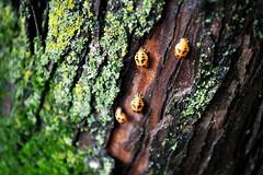 Ladybug Lady Bugs Pupa Lady Bug Life Cycle Pupa Stage Ladybug Ladybeetles Pupas Insects  Baby Ladybugs Baby Bugs Insects  Moss Tree Trunk Biodiversity Forest Ecology Nature Up Close Botany Entomology Natural Pattern Ecology (Shannon F Gorman) Tags: ecology moss insects treetrunk ladybug botany biodiversity entomology ladybeetles naturalpattern pupas forestecology natureupclose babybugs babyladybugs ladybuglifecycle ladybugspupa pupastageladybug