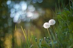 thinking of friends (in heaven) (dapalmerpeter (slow & low)) Tags: friends blur canon 50mm evening spring heaven bokeh meadow dandelion 50 f095 095 dapalmerpeter thefriendsinheaven