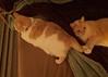 Gotcha! (I Flickr 4 JOY) Tags: cats cat tessa sole gotcha pest cattail thepest