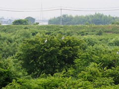Grey herons () in a tree (Greg Peterson in Japan) Tags: birds japan wildlife rivers shiga jpn moriyama shigaprefecture egretsandherons yasugawa rittocity