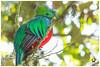 Resplendent Quetzal / Quetzal Resplandeciente  - ♂ (Panama Birds & Wildlife Photos) Tags: bird birds aves panama quetzal trogon chiriqui quetzals neotropicalbirds trogón trogons panamabirds panamawildlife birdsofpanama avesdepanama trogones neotropicalbird